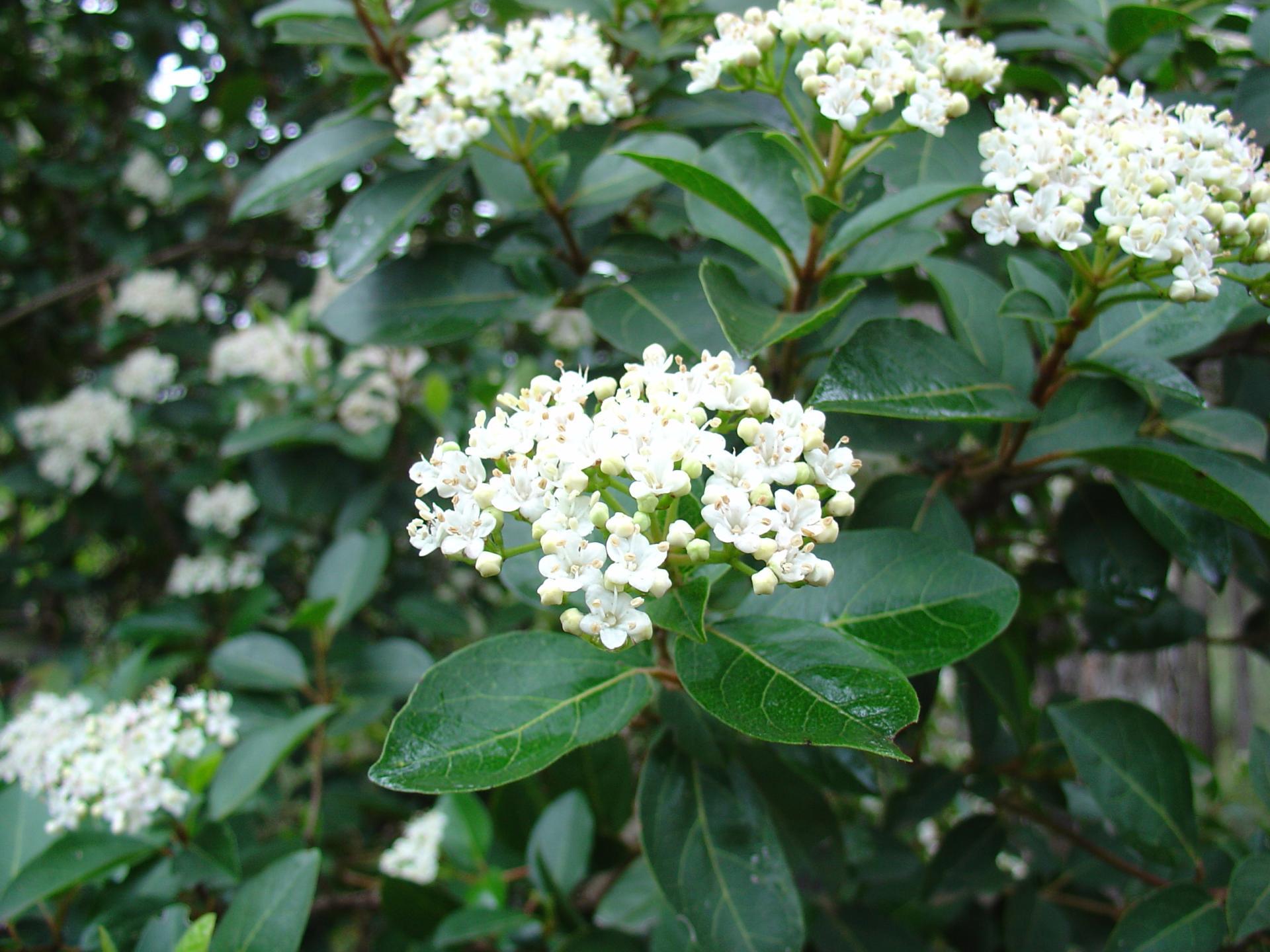 Taille Du Laurier Tin le laurier-tin, un bel arbuste pour l'hiver